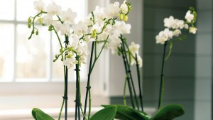 orchidee blanche