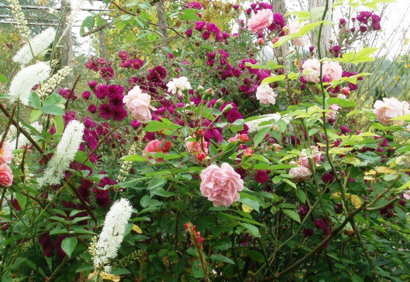 comment planter et entretenir un rosier
